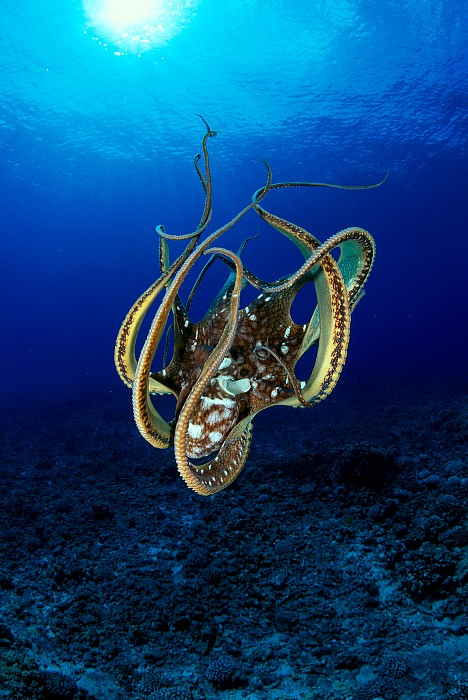 Hawaii, Day Octopus Print by Dave Fleetham - Printscapes