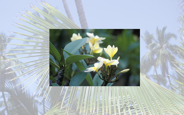http://images.fineartamerica.com/images-medium/1-hawaii-flora-plumeria-charlie-osborn.jpg