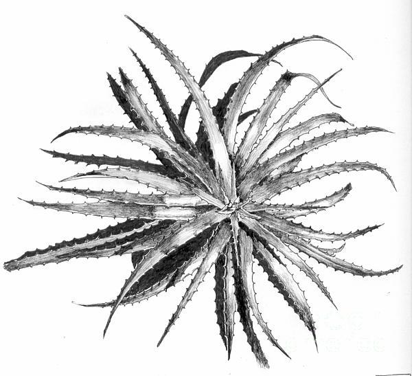 Hechtia Argentea Print by Penrith Goff