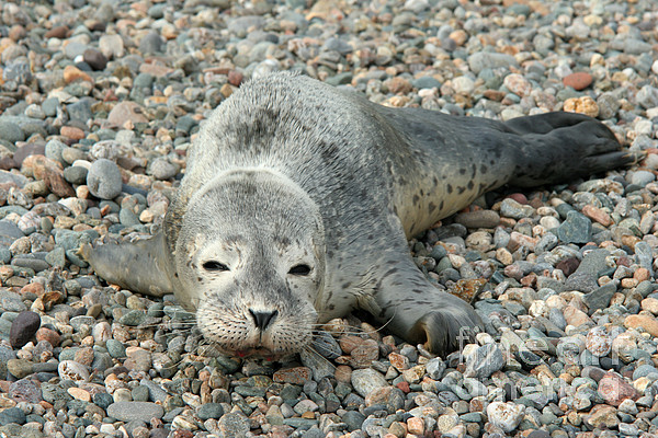 Injured Harbor Seal Print by Ted Kinsman