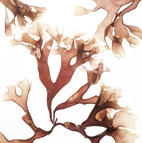 Irish Moss Seaweed Print by Cristina Pedrazzini