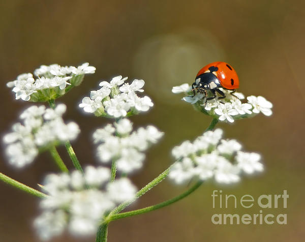 David Cutts - Ladybug on a flower