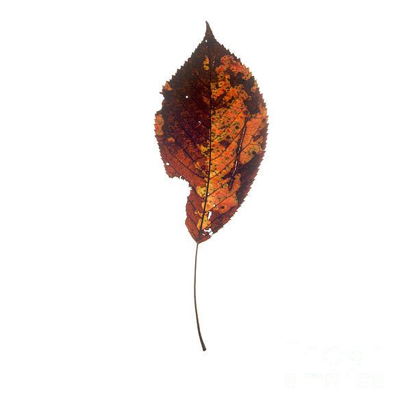 Leaf In Autumnal Colours Print by Bernard Jaubert
