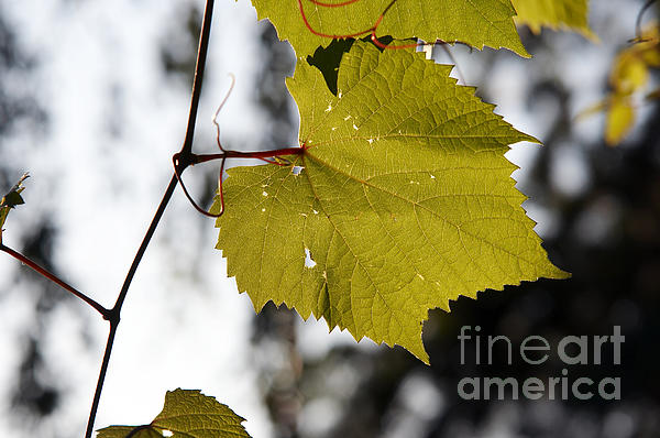 Leaves Of Wine Grape Print by Michal Boubin