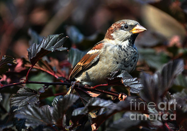 Little Sparrow Print by Elaine Manley