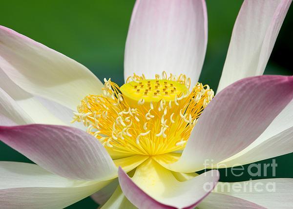 Lotus Up Close Print by Sabrina L Ryan