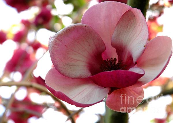 Magnolia Print by Nancy Greenland