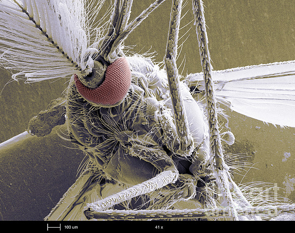 Male Mosquito Print by Ted Kinsman