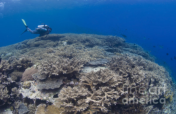 Masses Of Staghorn Coral, Papua New Print by Steve Jones
