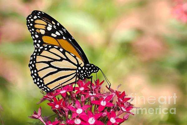 Betty LaRue - Monarch Butterfly