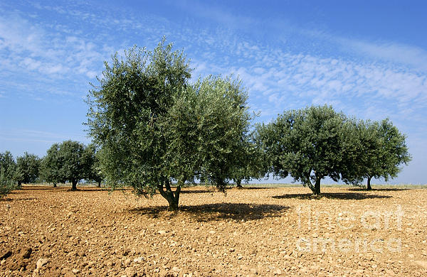 Olives Tree In Provence Print by Bernard Jaubert