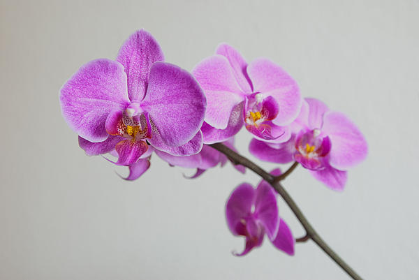 Orchid  Print by Hannes Cmarits