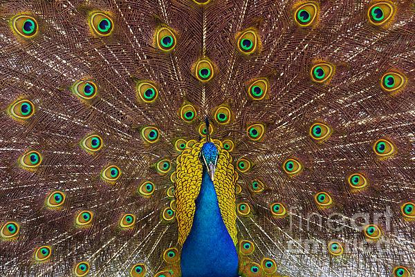 Peacock Print by Carlos Caetano