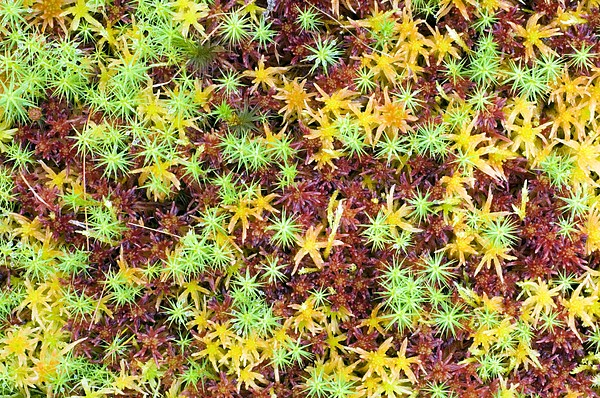 Peat Moss (sphagnum Sp.) Print by Duncan Shaw