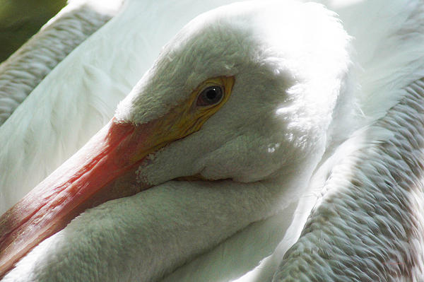DiDi Higginbotham - Pelican