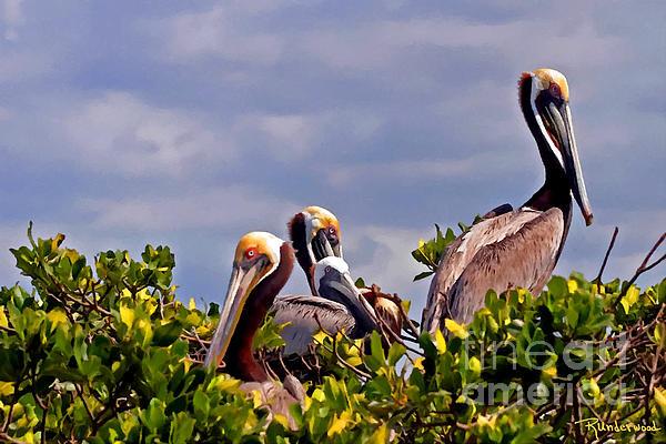 Rodger Underwood - Pelicans