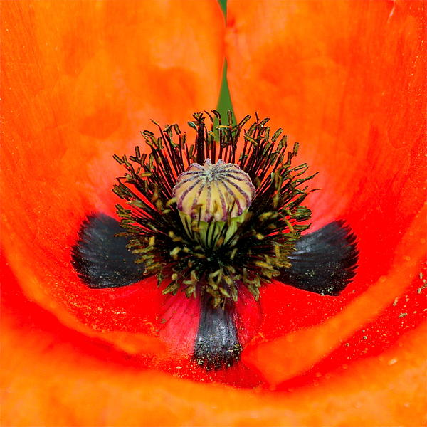 Poppy Heart Print by Karon Melillo DeVega