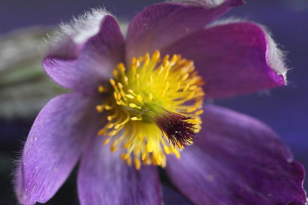 Purple Flower Print by Mark J Seefeldt