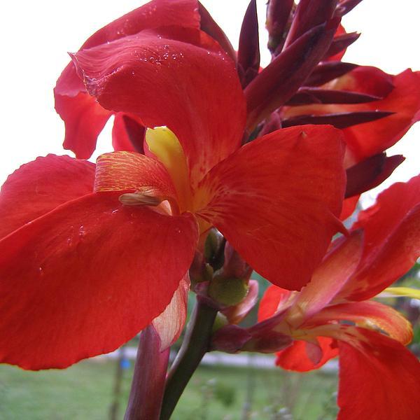 Red Canna Lily Print by Sandi Floyd