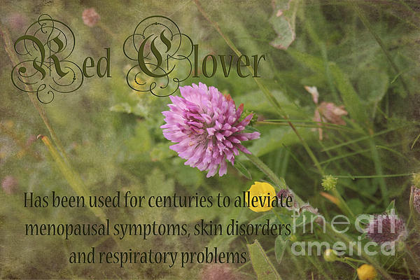 Red Clover Print by Carole Lloyd