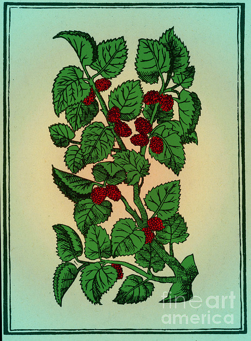 Red Mulberry Print by Science Source