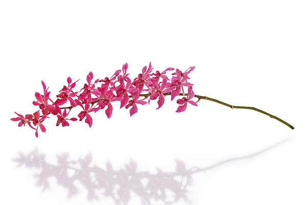 Red Orchid Print by Atiketta Sangasaeng