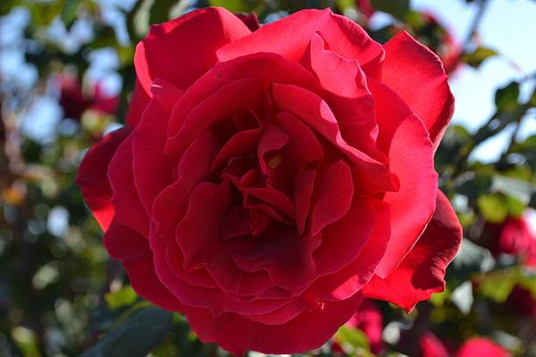 Saifon Anaya - Red Rose