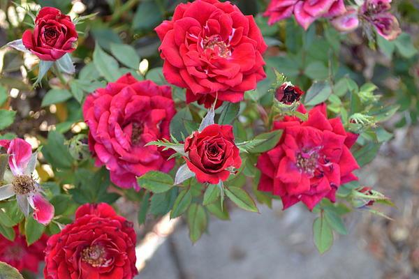 Saifon Anaya - Red Roses