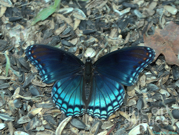 Donna Brown - Red Spotted Purple Swallowtail Butterfly