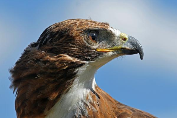 Alan Lenk - Red-tailed Hawk