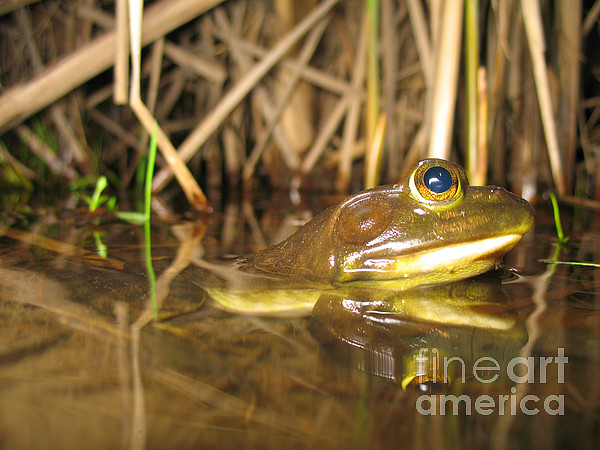 Resting Bullfrog Print by Ted Kinsman