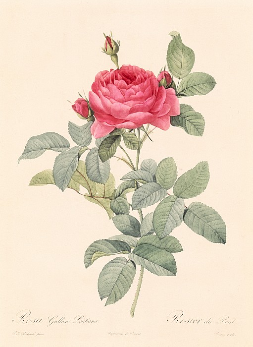 Rosa Gallica Pontiana Print by Pierre Joseph Redoute