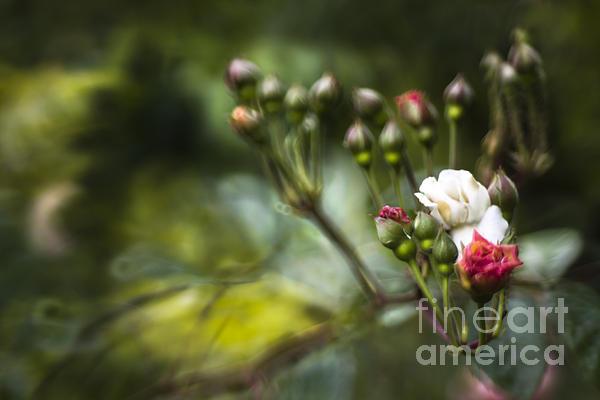 Rose In Bloom Print by Angel  Tarantella