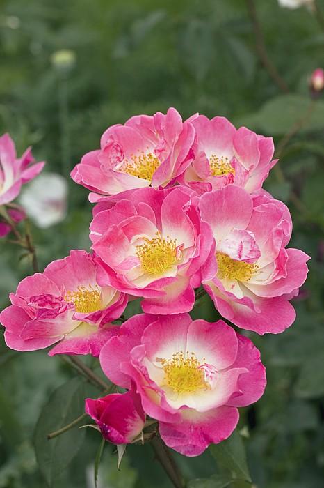 Rose (rosa erfurt) by Dr Keith Wheeler