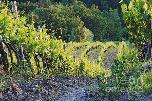 Rows Of Grapevines At Sunset Print by Jeremy Woodhouse