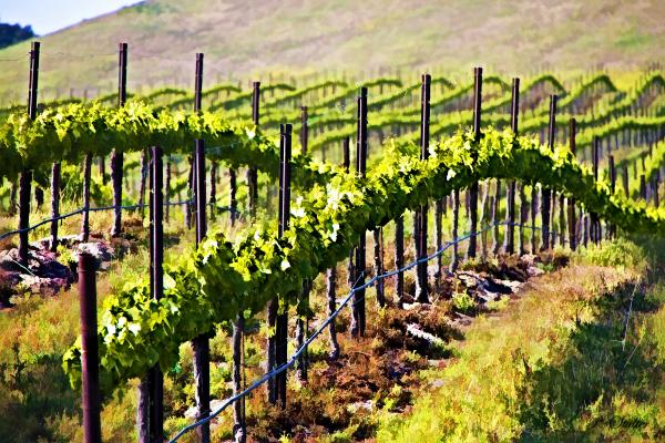 Rows Of Vines Print by Patricia Stalter