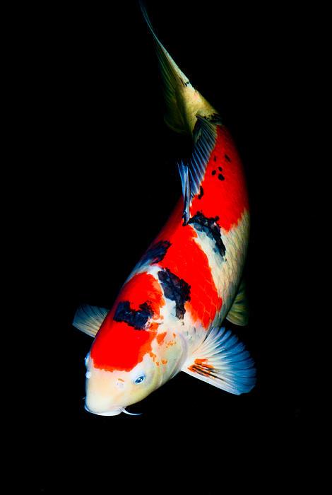 Sanke koi print by chua chinleng for Sanke koi fish