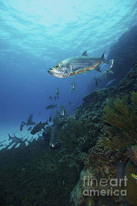 School Of Tarpon, Bonaire, Caribbean Print by Terry Moore