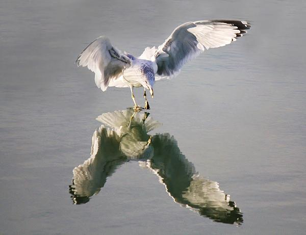 Sea Gull Reflection Print by Paulette Thomas