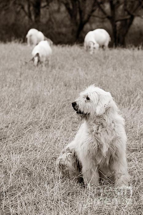 Sheepdog Print by David  Rusch