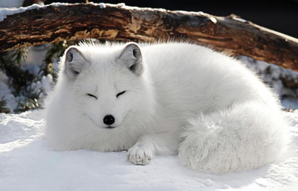 Rens Epoche - RPG Alte Einträge 4 - Seite 2 1-snow-fox-amanda-horst