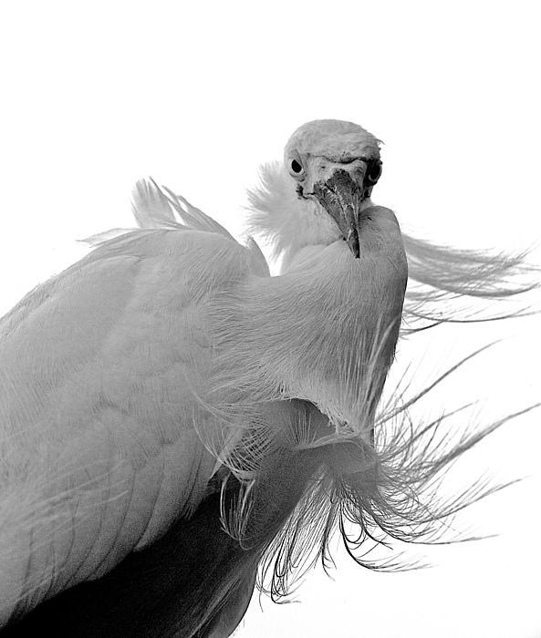 William Wetmore - Snowy Egret