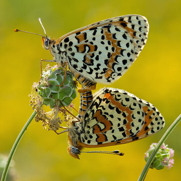 Anne Sorbes - Spotted Fritillaries lovers