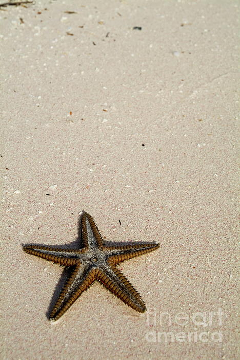 Starfish Partially Buried In White Sand Print by Sami Sarkis