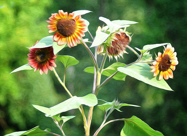 Sunflower Power Print by Bill Cannon