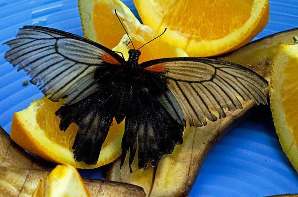 Cheryl Cencich - Swallowtail