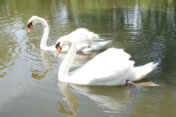 Swan Pair Print by Geralyn Palmer