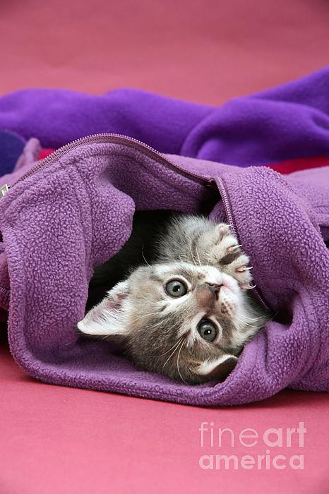 Tabby Kitten Print by Jane Burton