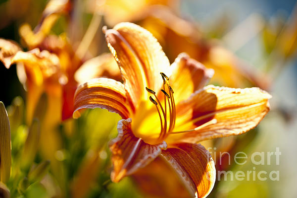 Elena Elisseeva - Tiger lily flower