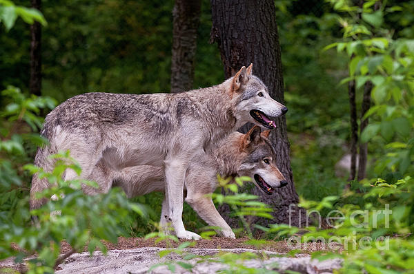 Timber Wolves Print by Michael Cummings